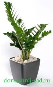Zamiokulkas zamiifolia (Замиокулькас)
