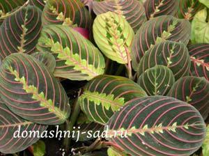 Комнатное растение маранта фото maranta