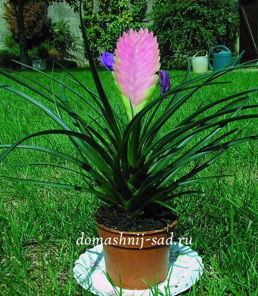 Цветок тилландсия фото
