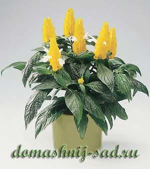 Комнатный желтый цветок с белым