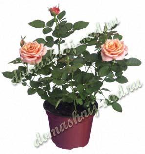 китайская комнатная роза уход фото