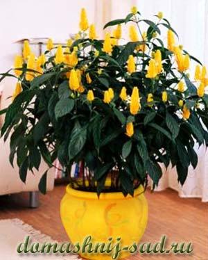 Комнатный желтый цветок