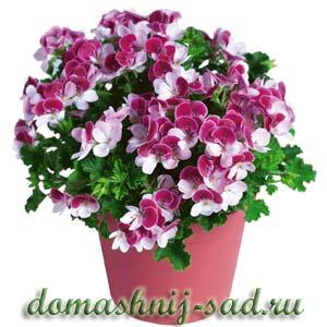 Домашние цветы фото и название герань