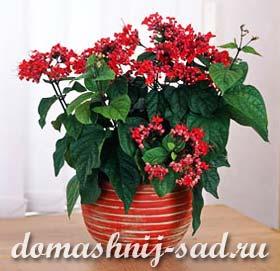Клеродендрон (Клеродендрум) - уход в домашних условиях | domashnij ...