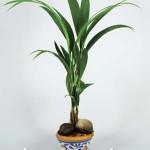 Кокос, или Кокосовая пальма