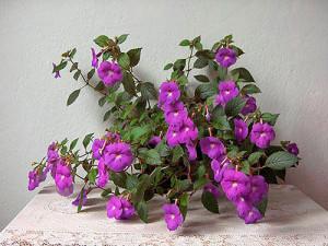 Ахименес крупноцветковый (А. grandiflora)