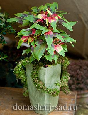 Амарант трехцветный (Amaranthus tricolor)