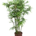 Арундинария (комнатный бамбук)