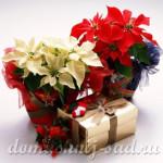 Какое комнатное растение подарить на Новый год или Рождество?