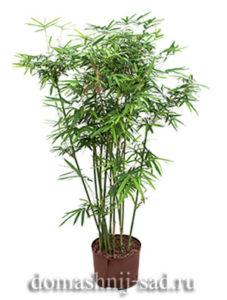 Арундинария, комнатный бамбук